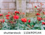 roses on an old wall old brick... | Shutterstock . vector #1106909144