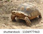 Stock photo african spurred tortoise in the garden geochelone sulcata tortoise sunbathe on ground with his 1106977463