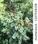 Small photo of Garden bush. Berries. Bush of berries. Garden design. Plants. Bushes. Nature. Green berries. Blooming bush.