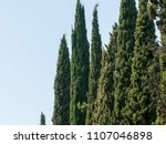 alley with thuja in an autumn... | Shutterstock . vector #1107046898