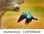 roller in nest tree hole ...   Shutterstock . vector #1107050630