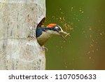 bird cleaning nest hole.... | Shutterstock . vector #1107050633