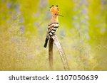 hoopoe  upupa epops  nice...   Shutterstock . vector #1107050639