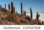 Trichoreceus Cactus On Isla...