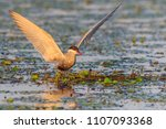 common terns  sterna hirundo... | Shutterstock . vector #1107093368
