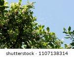 alexandrian laurel  beautiful...   Shutterstock . vector #1107138314
