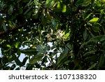 alexandrian laurel  beautiful...   Shutterstock . vector #1107138320