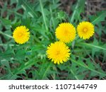 yellow dandelions in green... | Shutterstock . vector #1107144749