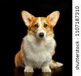 welsh corgi pembroke dog ... | Shutterstock . vector #1107187310