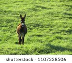 a mule watches from pasture   Shutterstock . vector #1107228506