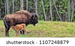 Bison Calf Nurses From Mother...