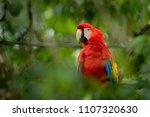 red parrot scarlet macaw  ara...   Shutterstock . vector #1107320630