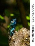 blue lizard take a  sunbath on... | Shutterstock . vector #1107377060
