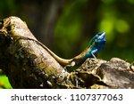 blue lizard take a  sunbath on... | Shutterstock . vector #1107377063