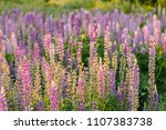 field of lupinus in ukraine ... | Shutterstock . vector #1107383738