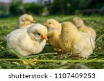 Little Chickens On The Grass....