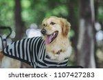 golden retriever playing... | Shutterstock . vector #1107427283