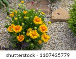 Gaillardia Flower Red Flower Of ...