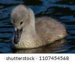Cygnets On Water