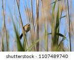 Small photo of bearded tit in thickets of reeds, hides from importunate glances and ... eats