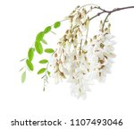 blossoming branch of acacia... | Shutterstock . vector #1107493046