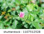 pink rose in outdoor garden | Shutterstock . vector #1107512528