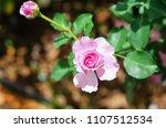 pink rose in outdoor garden | Shutterstock . vector #1107512534