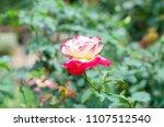 double delight hybrid tea rose... | Shutterstock . vector #1107512540