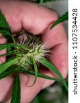 Small photo of Marihuana leaves and blossom