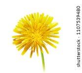 dandelion officinale flower... | Shutterstock .eps vector #1107539480