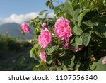 rosa damascena  known as the... | Shutterstock . vector #1107556340