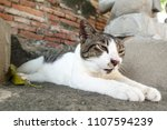 a young wandering siamese cat... | Shutterstock . vector #1107594239