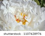 close up of white peony flower... | Shutterstock . vector #1107628976