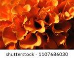 Marigold Petals Close Up