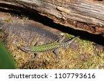 """common wall lizard"" or... | Shutterstock . vector #1107793616"
