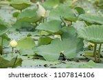 lotus pond in thailand | Shutterstock . vector #1107814106