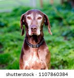 german shorthair pointer | Shutterstock . vector #1107860384