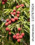 Small photo of Lichi Fruit on Tree
