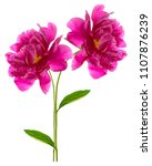 colorful bright flower peony... | Shutterstock . vector #1107876239