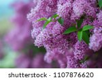 Blossoming Purple Lilacs In Th...