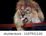 a lion with a big mane shows... | Shutterstock . vector #1107921110