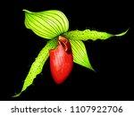 paphiopedilum orchid on black... | Shutterstock . vector #1107922706