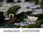 white nymphaea  nymphaea alba l.... | Shutterstock . vector #1107924338