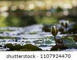 white nymphaea  nymphaea alba l.... | Shutterstock . vector #1107924470