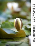 white nymphaea  nymphaea alba l.... | Shutterstock . vector #1107924578
