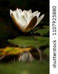 white nymphaea  nymphaea alba l.... | Shutterstock . vector #1107925880