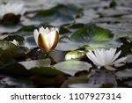 white nymphaea  nymphaea alba l.... | Shutterstock . vector #1107927314