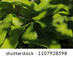 close up beautiful green lily's ... | Shutterstock . vector #1107928598