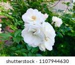 White Rose  Pink Rose And...