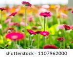 red and pink gerberas grow in... | Shutterstock . vector #1107962000